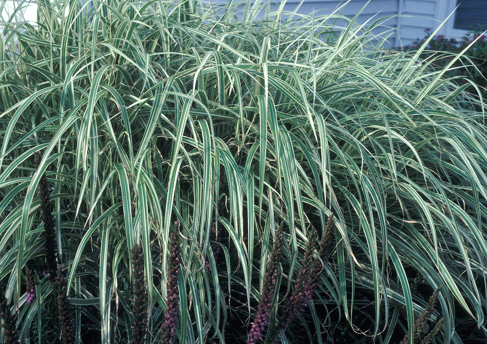miscanthus sinensis chinese silvergrass go botany. Black Bedroom Furniture Sets. Home Design Ideas