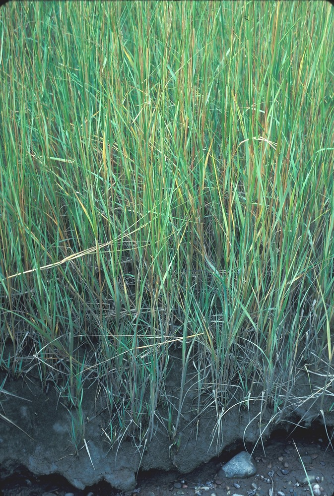 spartina alterniflora smooth cordgrass go botany