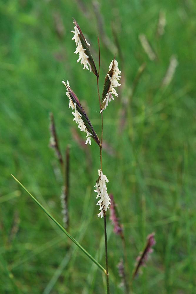 spartina patens saltmarsh hay saltmeadow cordgrass go