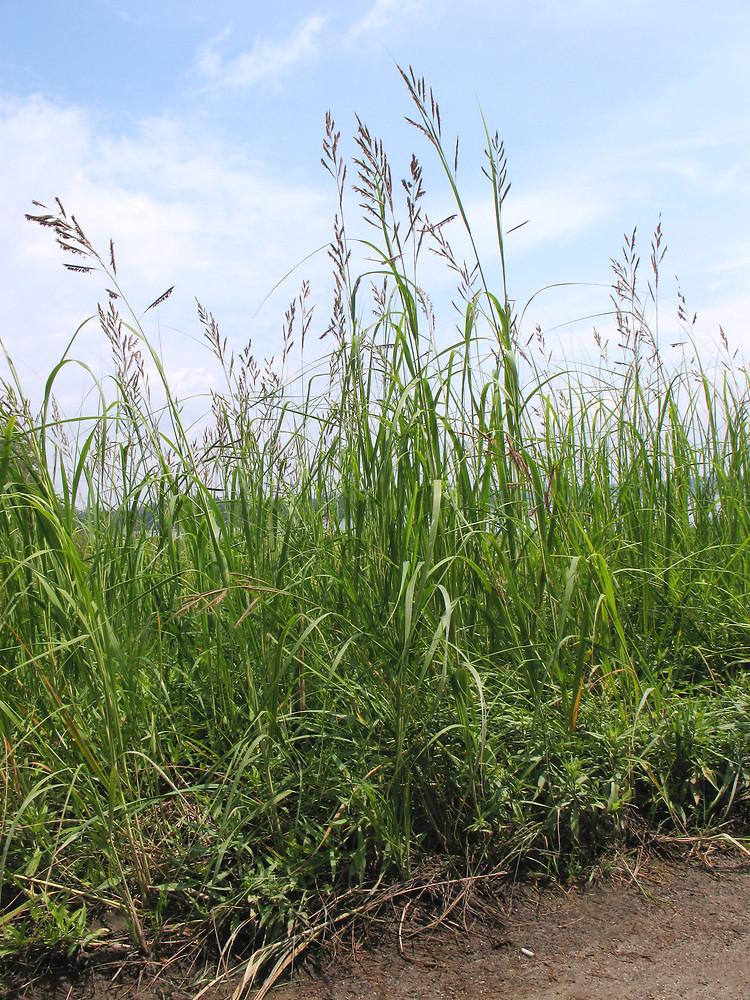 the spartina grass