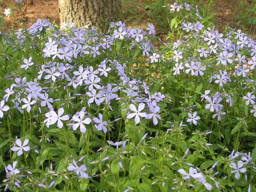 Phlox Divaricata Woodland Phlox Polemoniaceae Environmental