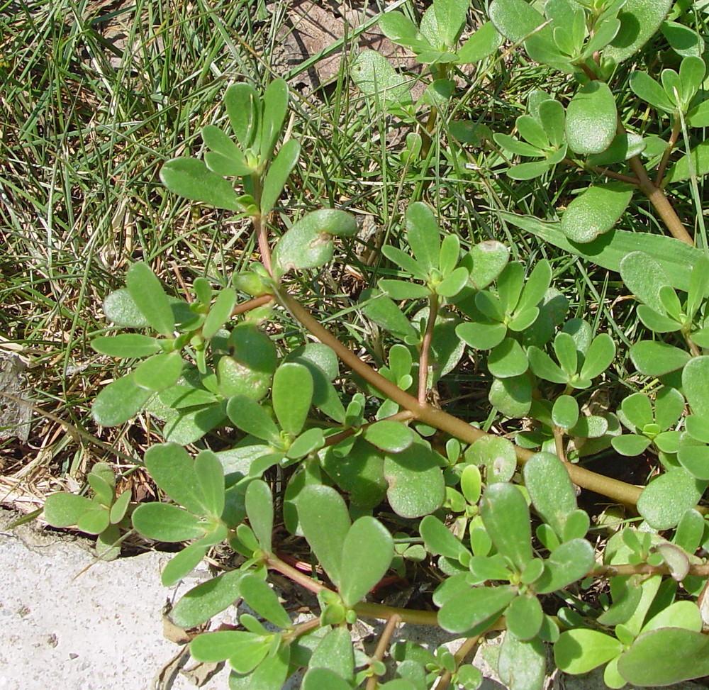 Portulaca oleracea (common purslane): Go Botany