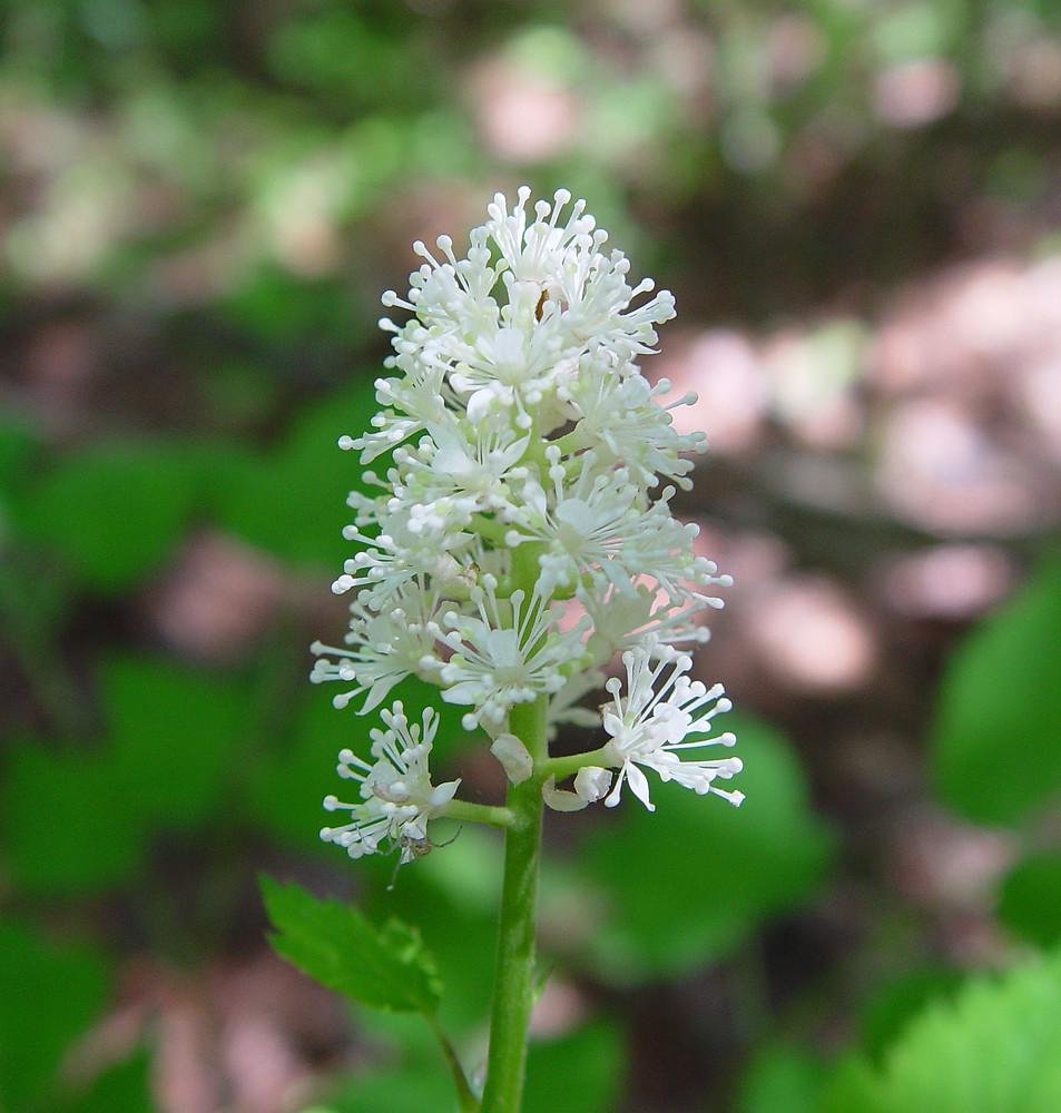 Actaea Pachypoda Dolls Eyes White Baneberry Go Botany