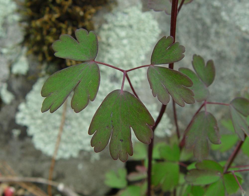 Aquilegia canadensis red columbine go botany copyright 2018 glen leaves aquilegia canadensis by arthur haines copyright 2018 izmirmasajfo