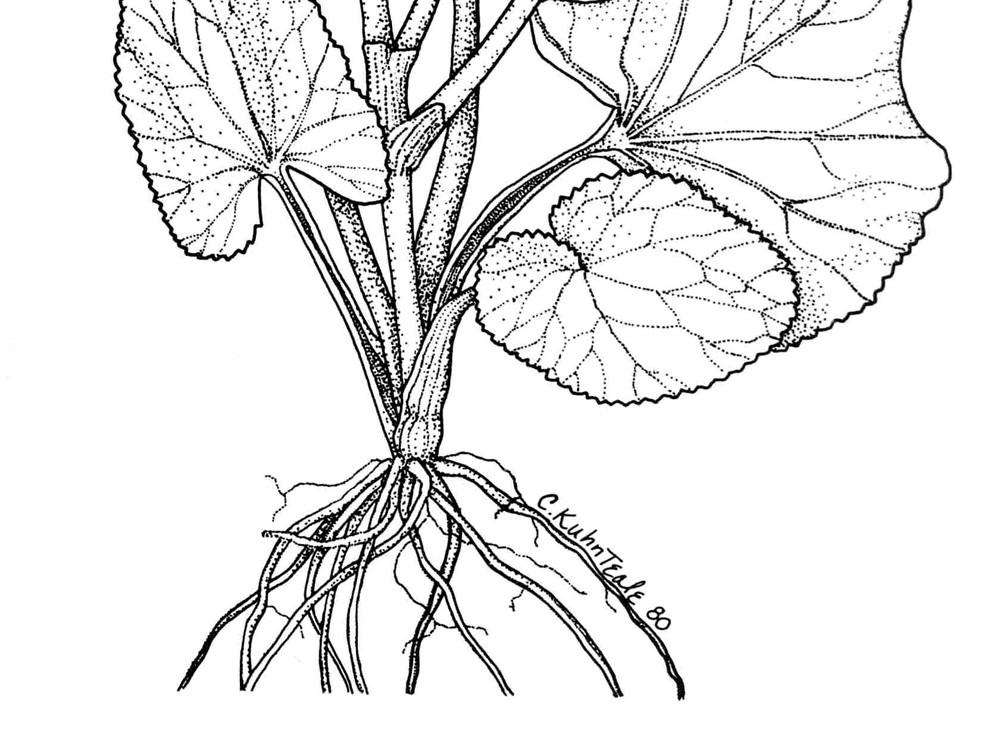 caltha palustris  marsh