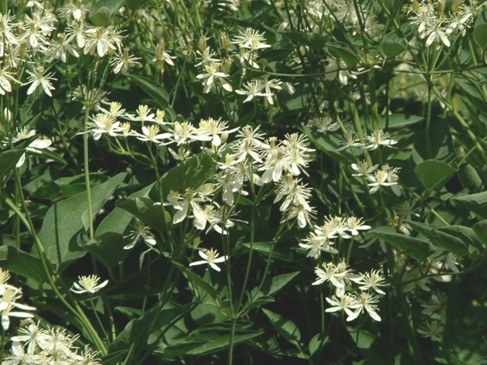 clematis recta ground virginsbower go botany