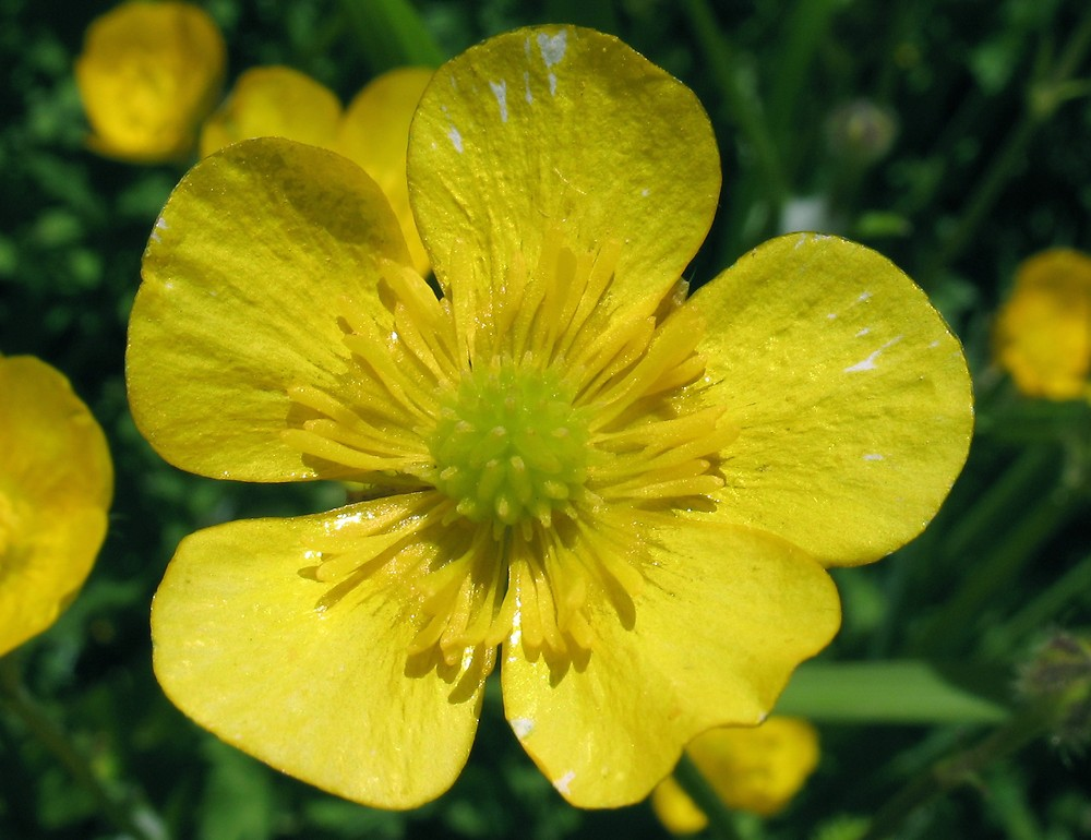 Ranunculus repens (creeping buttercup, spot-leaved crowfoot): Go Botany