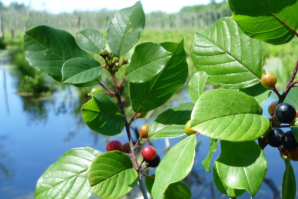 Frangula alnus (glossy false buckthorn): Go Botany