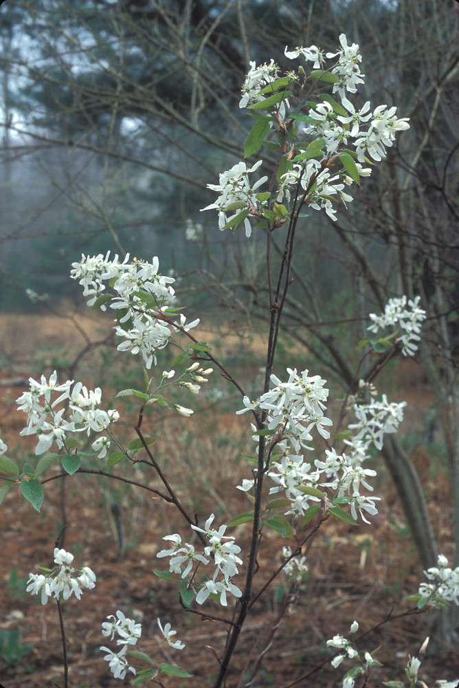 Amelanchier Canadensis Canadian Serviceberry Eastern