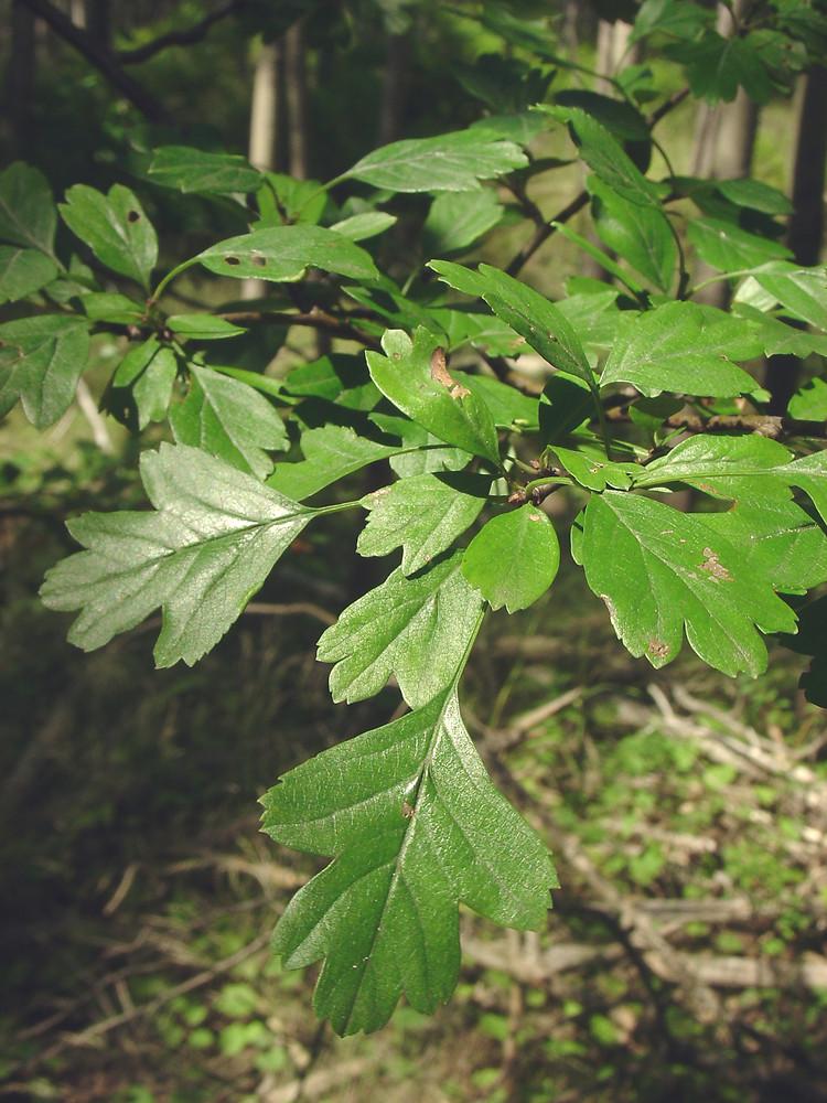 Crataegus monogyna (one-seeded hawthorn): Go Botany