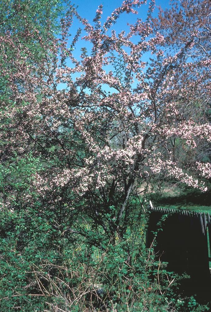 floribunda crabapple - photo #22