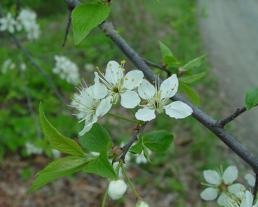 Prunus americana (Amer...