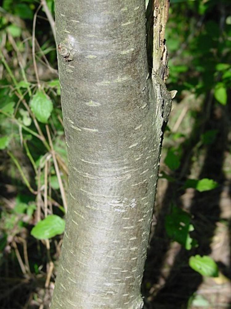 Prunus Domestica Ba Lmichels
