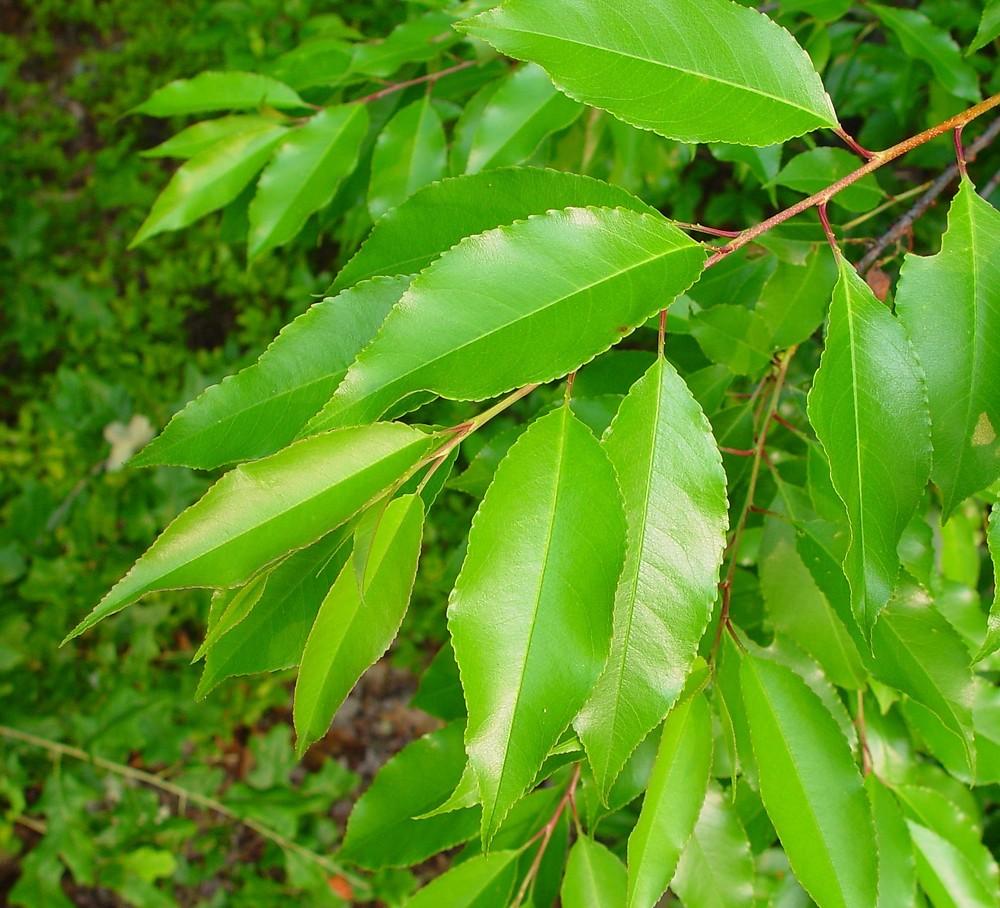 Prunus pensylvanica (p...