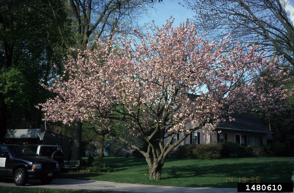 prunus serrulata japanese flowering cherry go botany