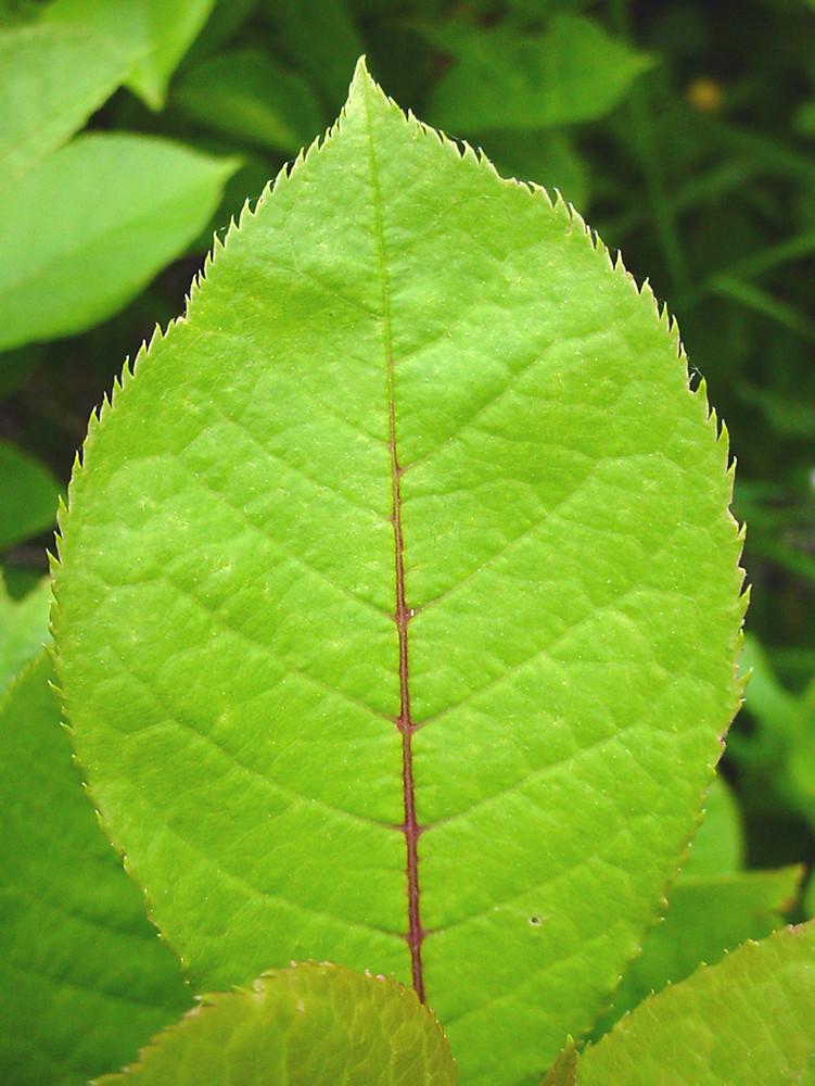Prunus virginiana (cho...