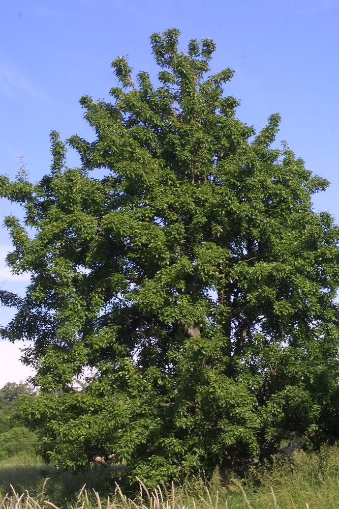 Pyrus communis (common pear): Go Botany