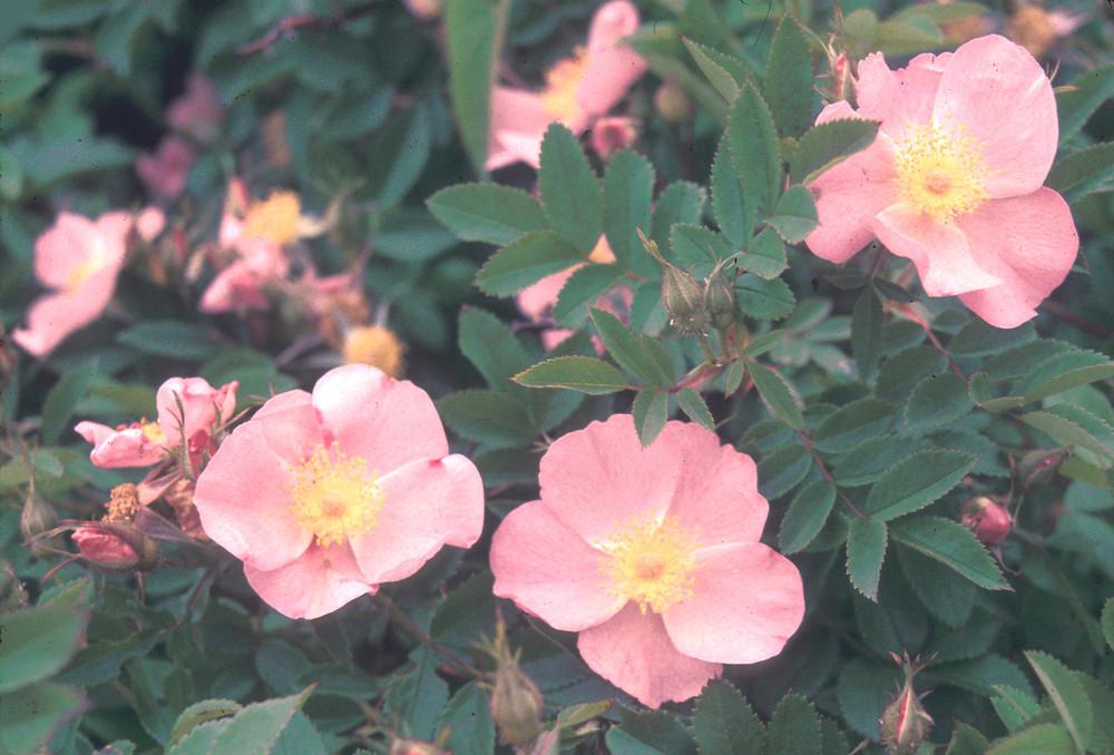 Rosa palustris (swamp rose): Go Botany