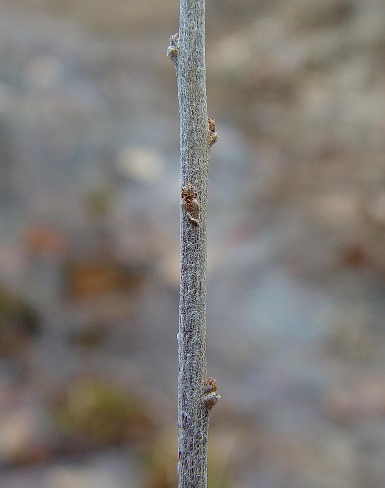 Spiraea tomentosa (ros... Unintentionally