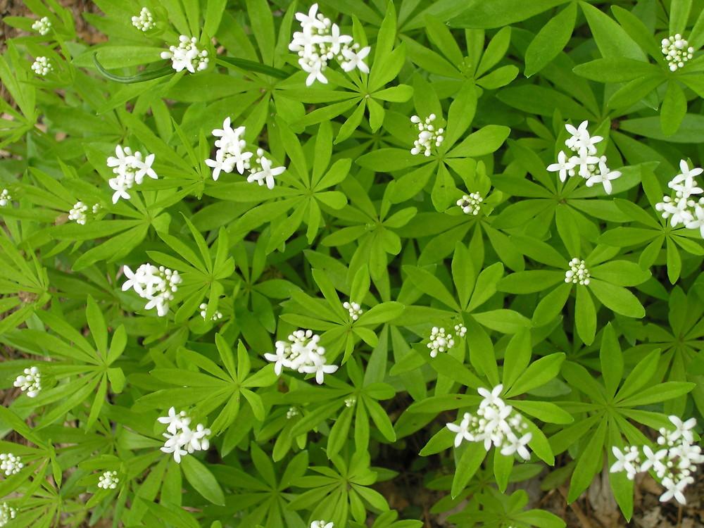 galium odoratum sweet scented bedstraw sweet woodruff