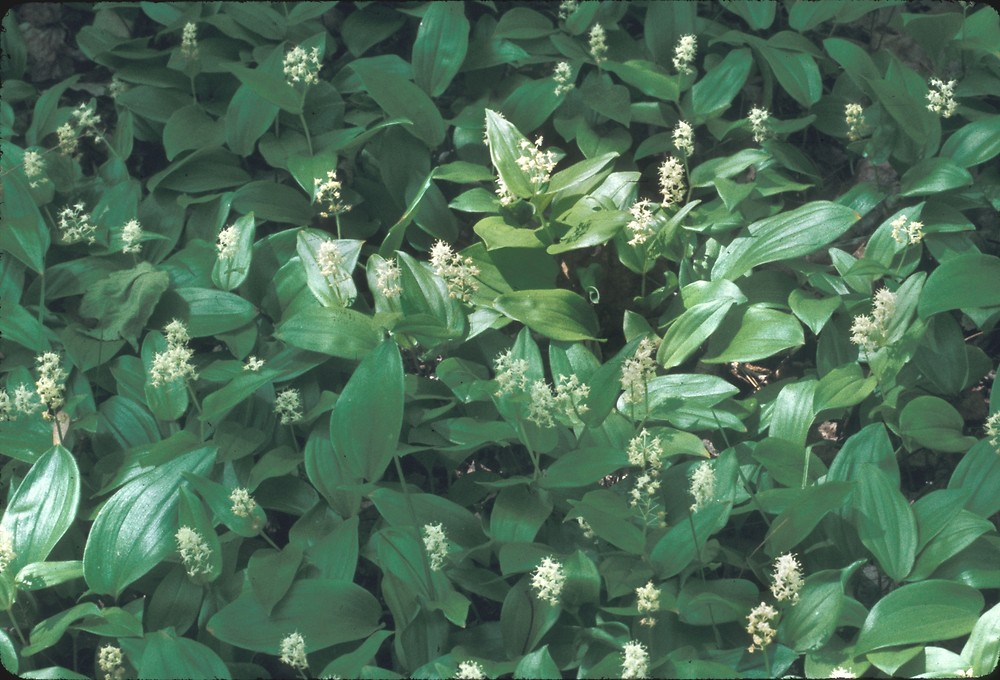 Maianthemum canadense (Canada-mayflower): Go Botany