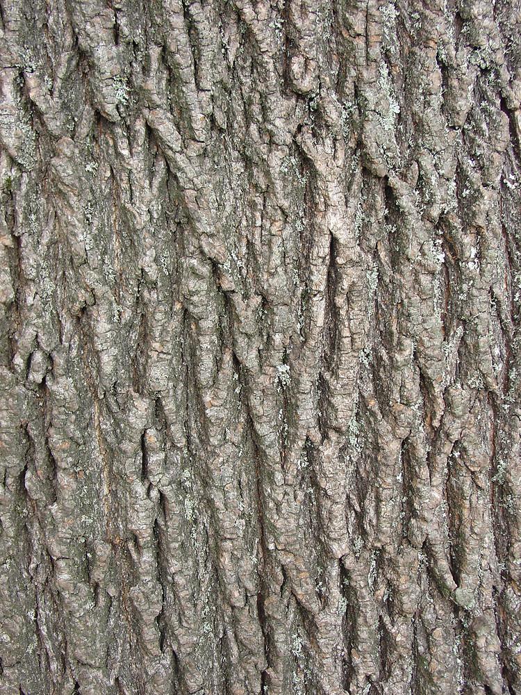 Acer Platanoides Norway Maple Go Botany - Norway maple bark