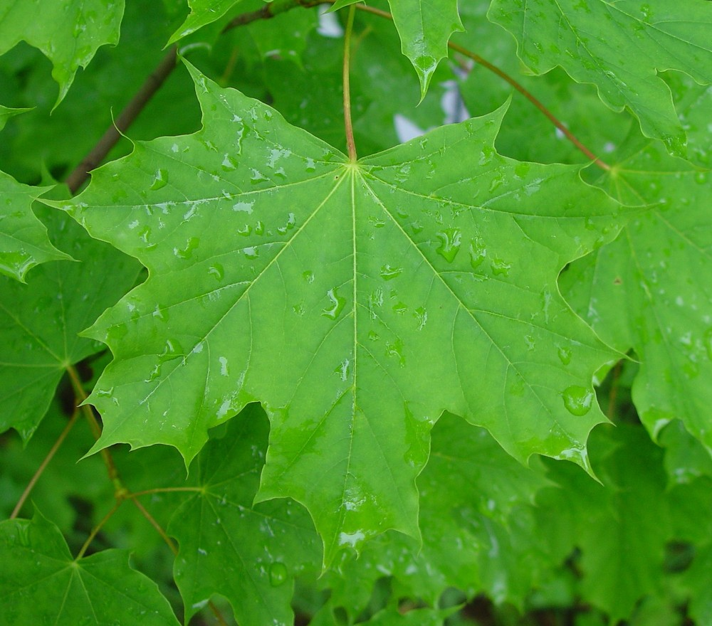 Acer Platanoides Norway Maple Go Botany