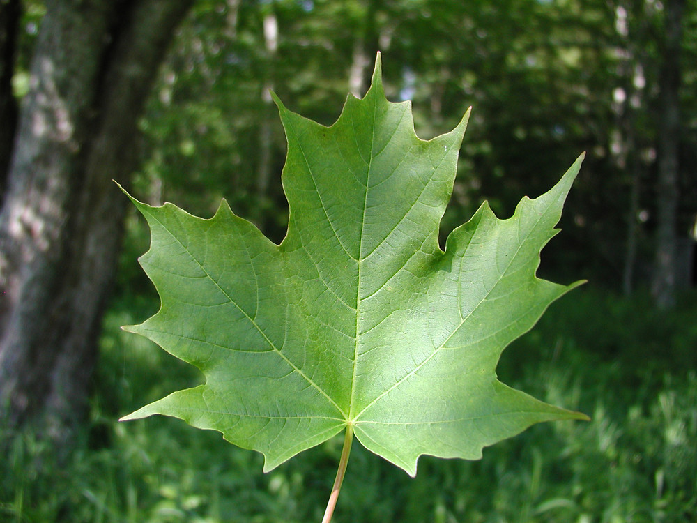 Acer Saccharum Sugar Maple Go Botany