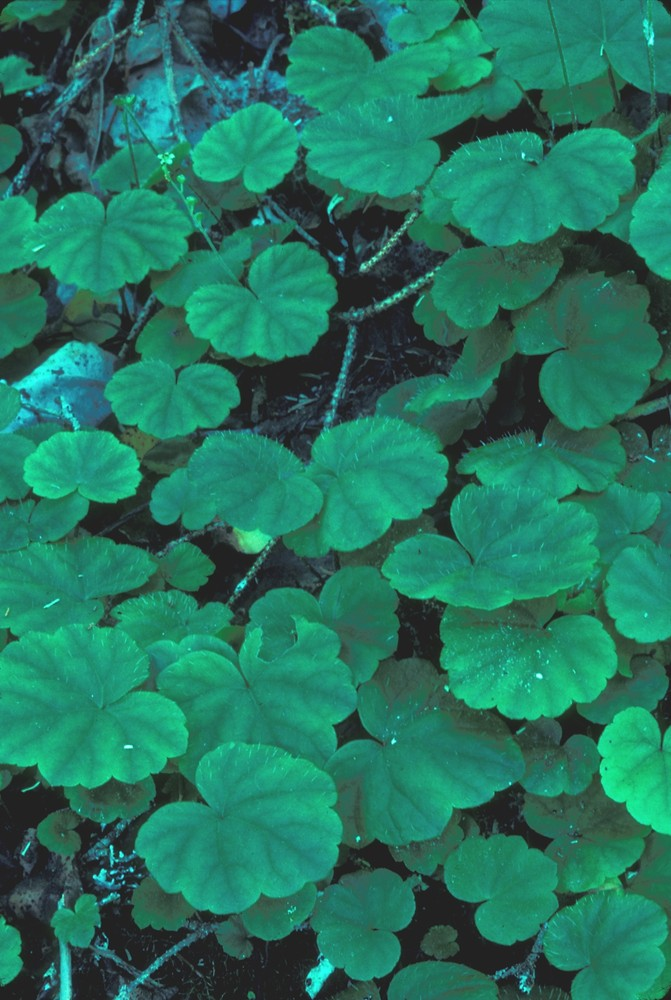 Mitella nuda (naked bishops-cap, naked miterwort): Go Botany