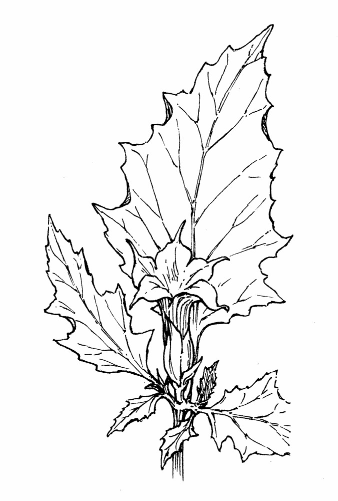 datura stramonium jimsonweed thorn apple go botany Fern Leaf Structure copyright 2019 cc flowers datura stramonium by gordon morrison copyright 2019 new england