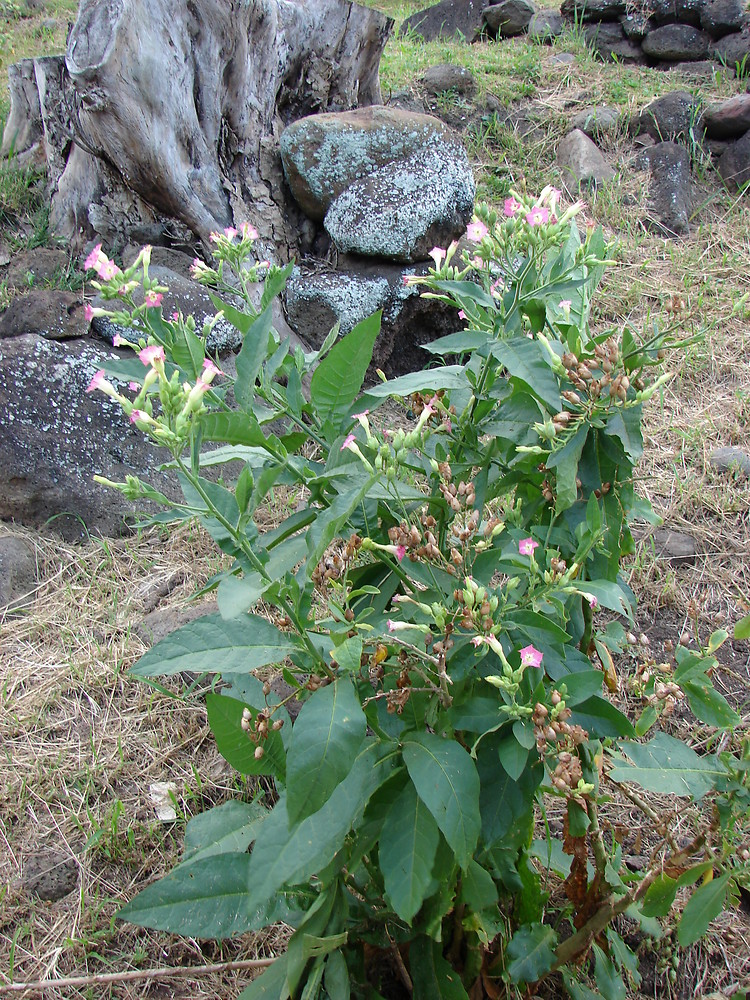 Nicotiana Tabacum Images: Nicotiana Tabacum (cultivated Tobacco): Go Botany