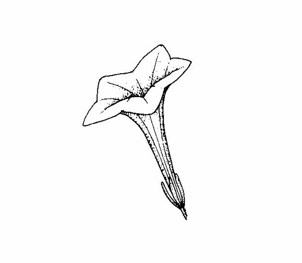 Petunia axillaris garden petunia go botany copyright 2018 flowers petunia axillaris by southern illinois university press ccuart Choice Image