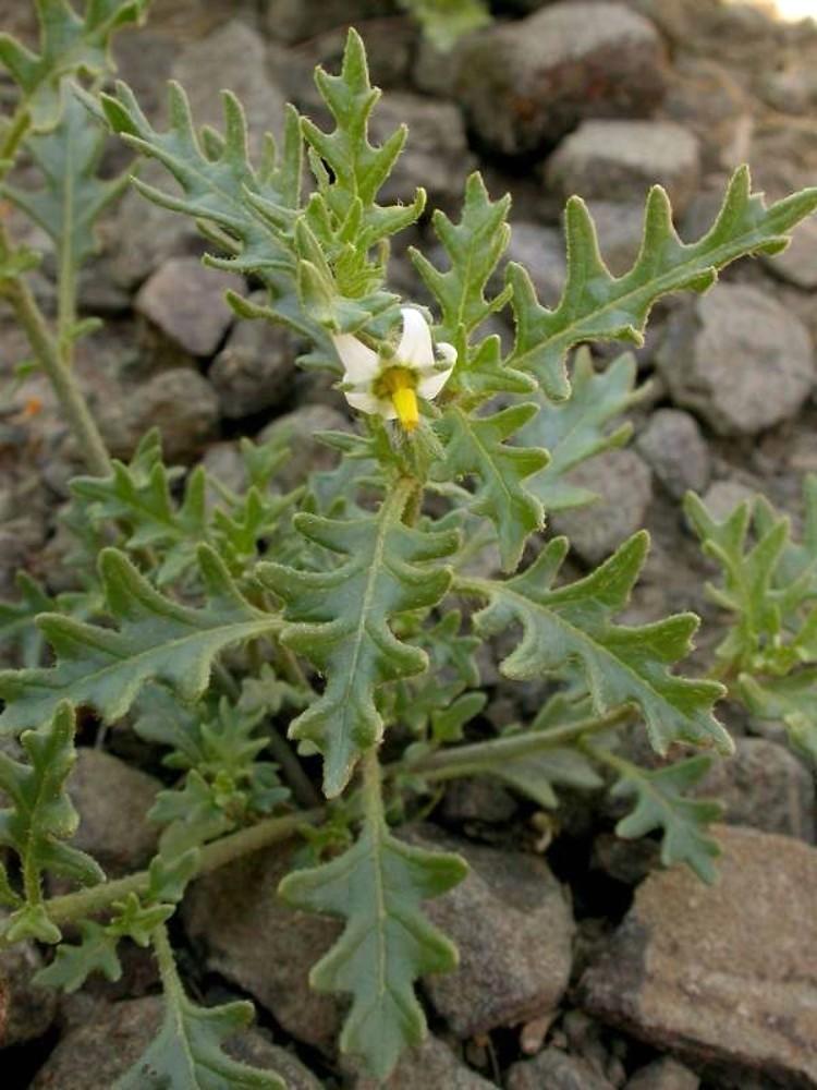 cutleaf nightshade (Solanum triflorum)