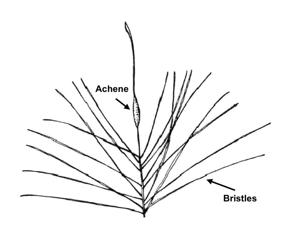 typha latifolia (broad leaved cat tail) go botany Drawings of Cattails