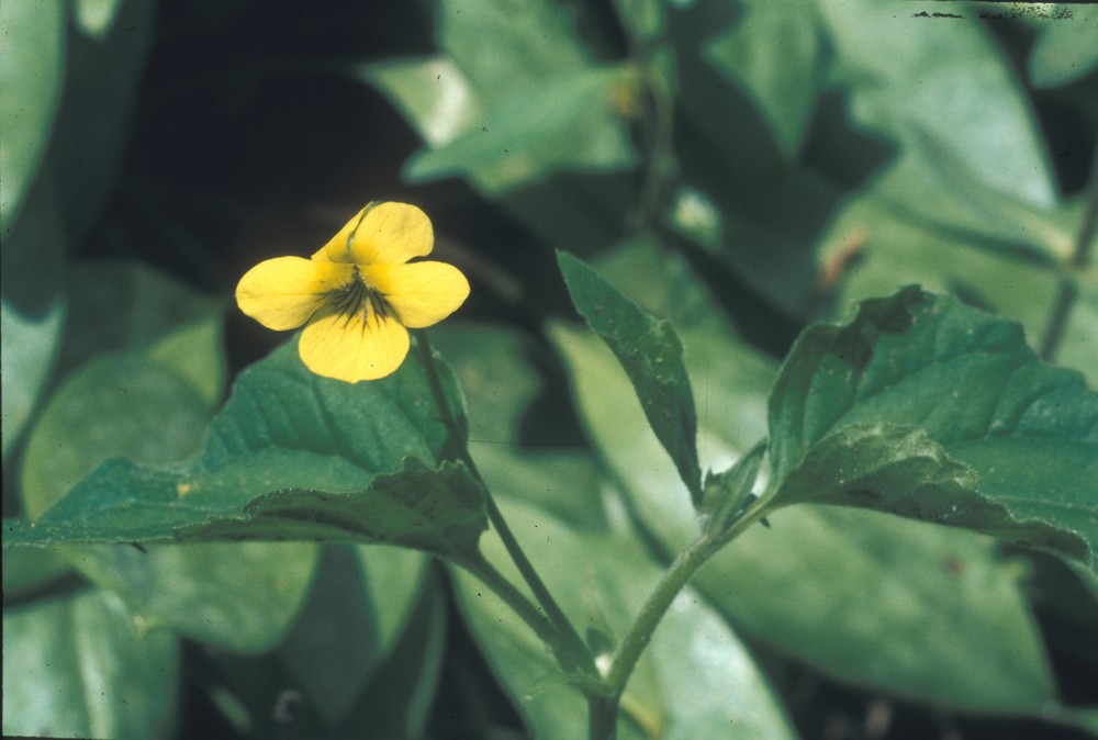 Viola Pubescens Yellow Forest Violet Go Botany