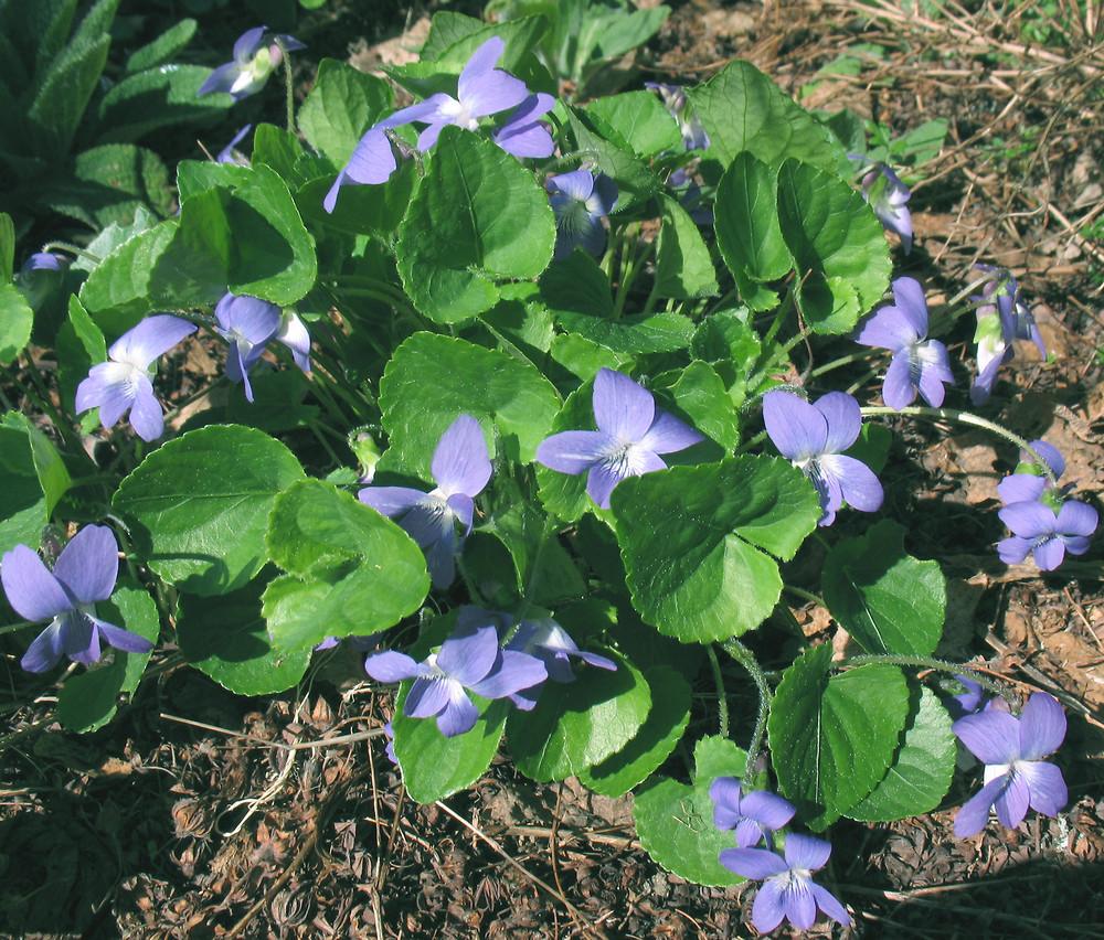 Viola Sororia Woolly Blue Violet Go Botany