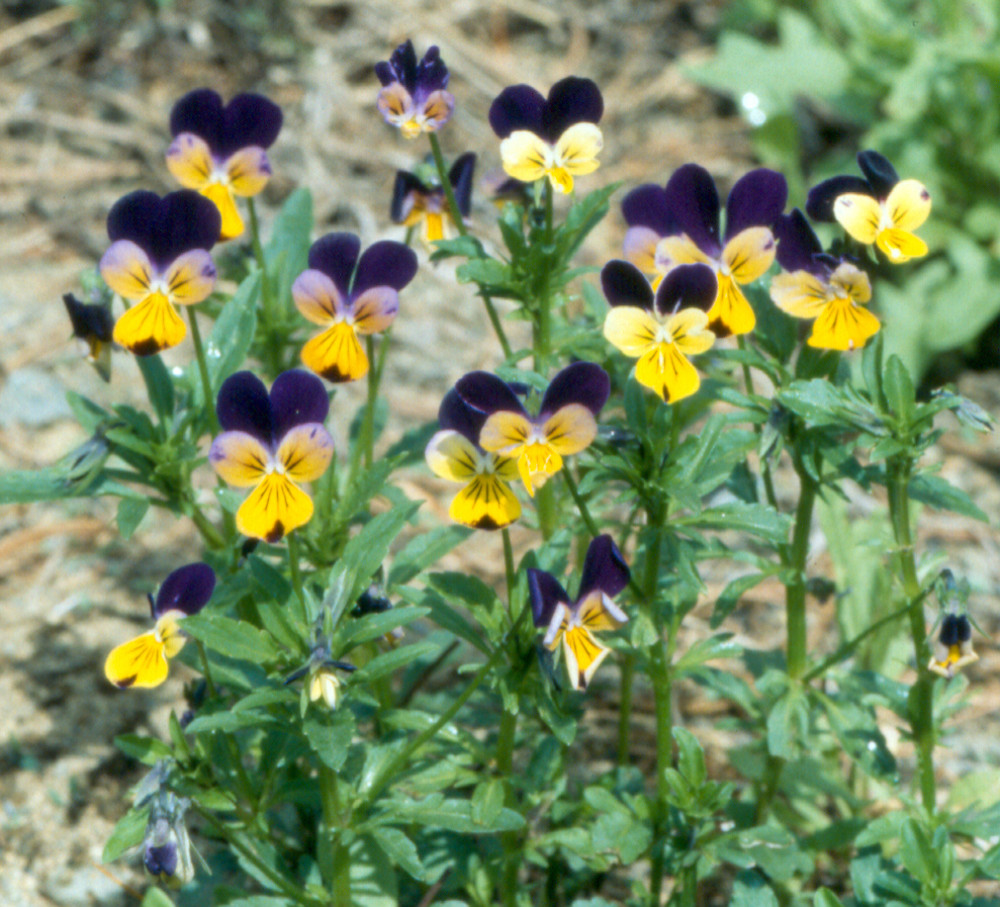 Viola tricolor garden violet go botany for New garden plants