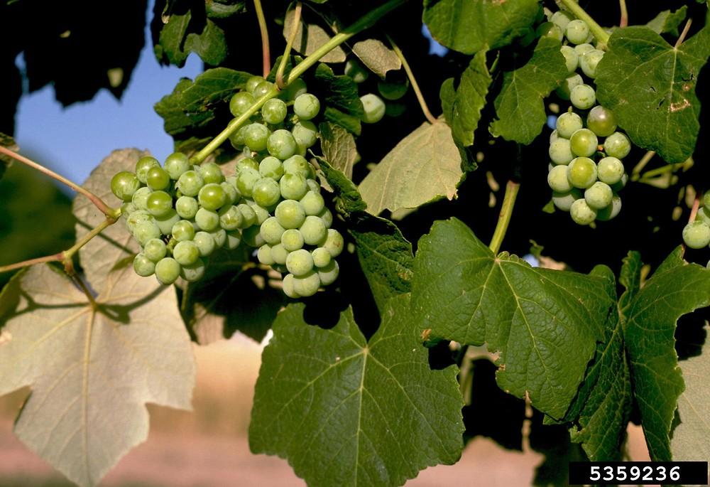 Vitis vinifera (European grape): Go Botany