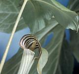 Arisaema triphyllum: flowers 2