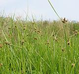 Bolboschoenus maritimus: plant form 2
