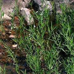 Plant form: Justicia americana. ~ By Keir Morse. ~ Copyright © 2017 Keir Morse. ~ www.keiriosity.com ~ www.keiriosity.com