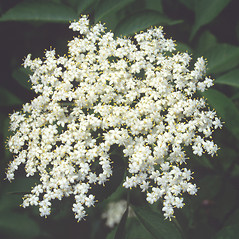 Flowers: Sambucus nigra. ~ By Roland Boutwell. ~ Copyright © 2018 Roland Boutwell. ~ Requests for image use not currently accepted by copyright holder