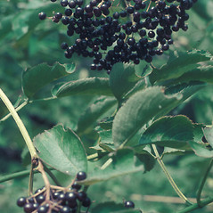 Fruits: Sambucus nigra. ~ By Lawrence Newcomb. ~ Copyright © 2018 New England Wild Flower Society. ~ Image Request, images[at]newenglandwild.org