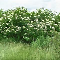 Plant form: Sambucus nigra. ~ By Arieh Tal. ~ Copyright © 2018 Arieh Tal. ~ http://botphoto.com/ ~ Arieh Tal - botphoto.com