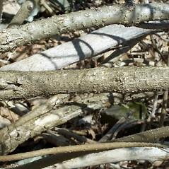 Bark: Sambucus racemosa. ~ By Arieh Tal. ~ Copyright © 2018 Arieh Tal. ~ http://botphoto.com/ ~ Arieh Tal - botphoto.com