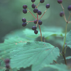 Fruits: Viburnum acerifolium. ~ By David Stone. ~ Copyright © 2018 New England Wild Flower Society. ~ Image Request, images[at]newenglandwild.org