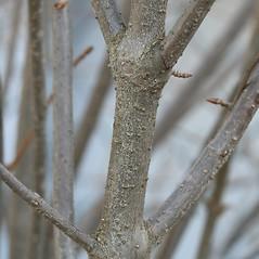 Bark: Viburnum dentatum. ~ By Arieh Tal. ~ Copyright © 2020 Arieh Tal. ~ http://botphoto.com/ ~ Arieh Tal - botphoto.com