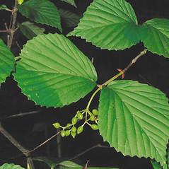 Leaves: Viburnum dilatatum. ~ By Alexey Zinovjev. ~ Copyright © 2018. ~ webmaster[at]salicicola.com ~ Salicicola - www.salicicola.com/