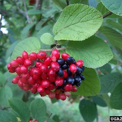 Fruits: Viburnum lantana. ~ By Haruta Ovidiu. ~ Copyright © 2018 CC BY-NC 3.0. ~  ~ Bugwood - www.bugwood.org/