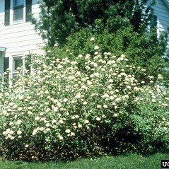 Plant form: Viburnum lantana. ~ By Richard Webb. ~ Copyright © 2019 CC BY-NC 3.0. ~  ~ Bugwood - www.bugwood.org/